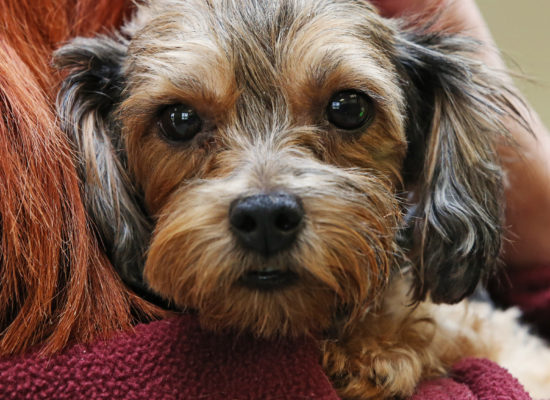 Forgotten Yorkie Rescued by SICSA