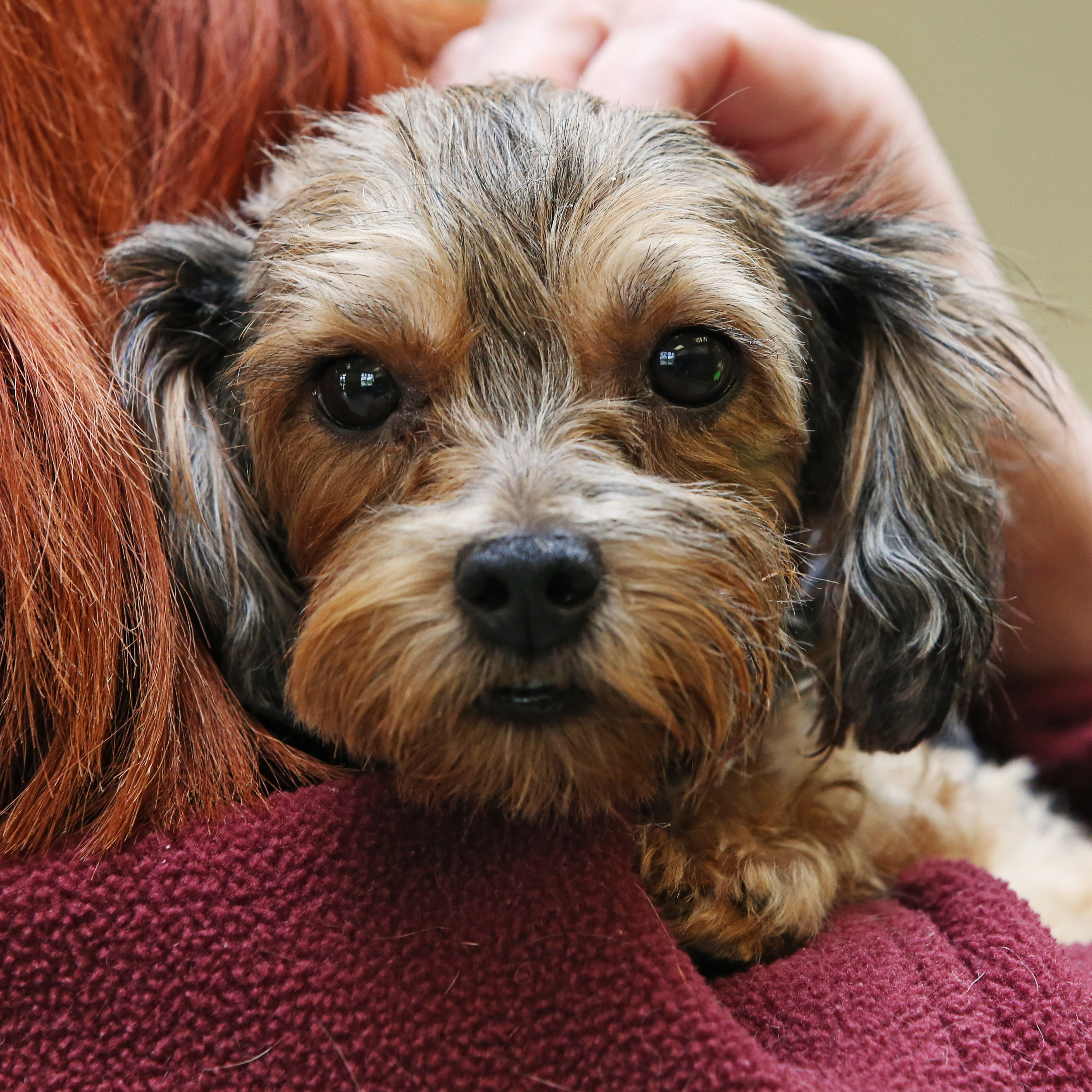 Forgotten Yorkie Rescued By Sicsa Sicsa